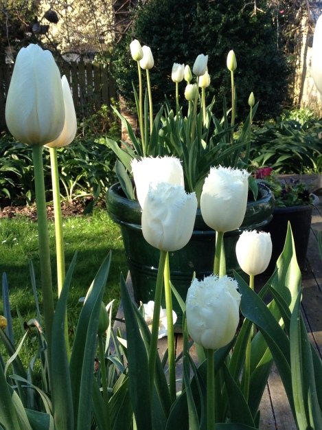 A combination of fringed & lily white tulips